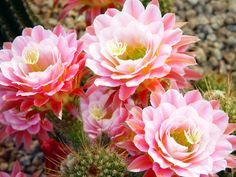 saguaro pink
